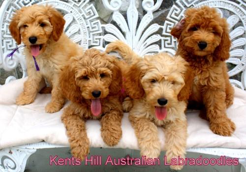 Kents Hill Australian Labradoodles Daisys Litters