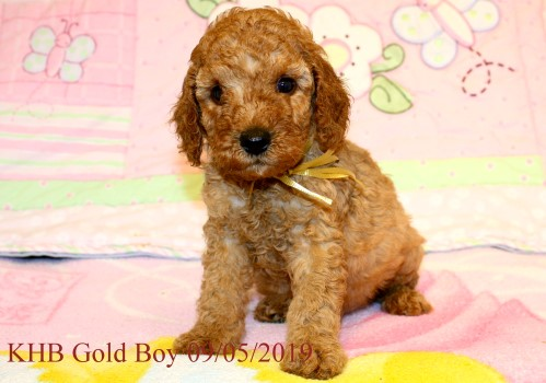 Kents Hill Australian Labradoodles - Puppies