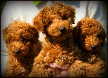 Kents Hill Australian Labradoodles - Home
